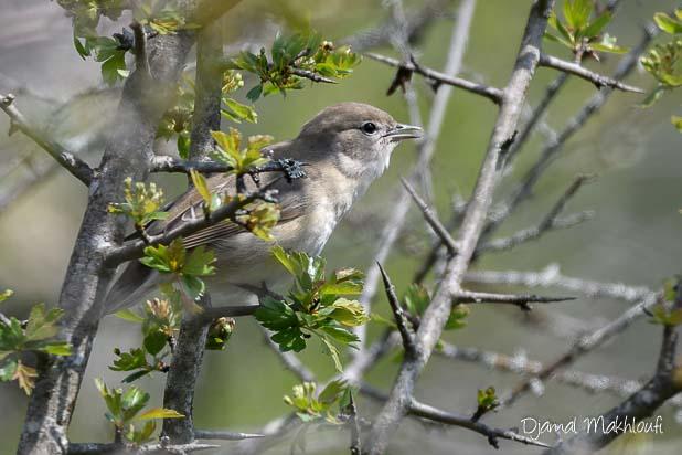 Fauvette des jardins (Sylvia borin) - Oiseau de la forêt de Fontainebleau