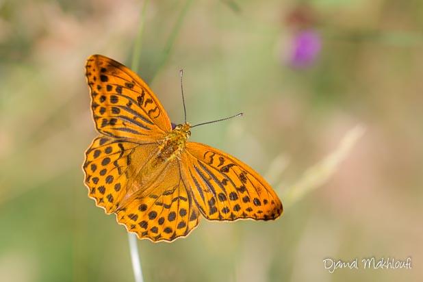 Détails dessus des ailes du Tabac d'Espagne (Argynnis paphia)