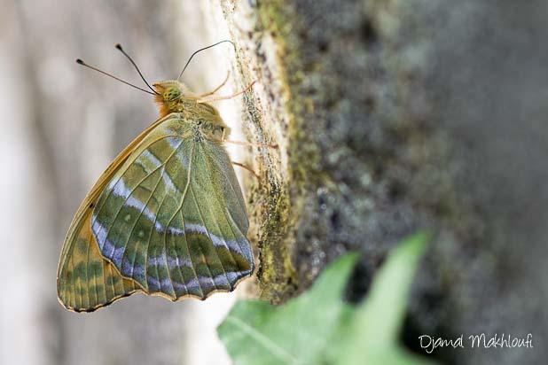 Dessous des ailes d'une femelle Tabac d'Espagne (Argynnis paphia)