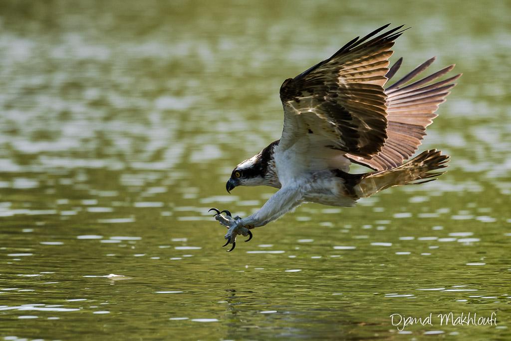 Piqué du balbuzard pêcheur sur le poisson serres en avant