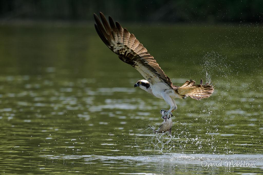 Balbuzard pêcheur (Pandion haliaetus) sortant un poisson de l'eau
