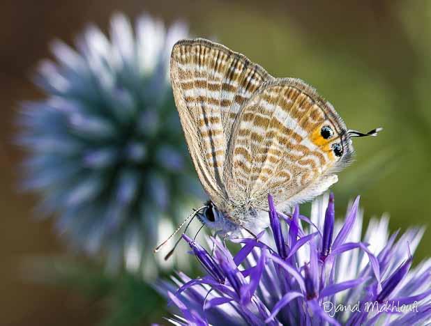 Azuré porte-queue mâle (Lampides boeticus) - Papillon migrateur de France