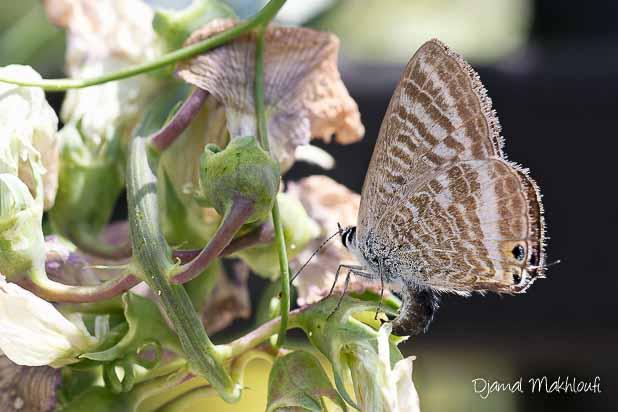 Azuré porte-queue femelle (Lampides boeticus) - Papillon migrateur de Fontainebleau