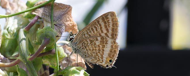 Azuré porte-queue (Lampides boeticus) - Papillon migrateur de Fontainebleau