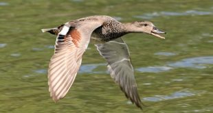 Canard chipeau mâle en vol (Mareca strepera)