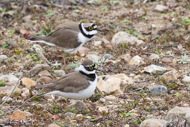 Petit gravelot mâle en parade et femelle (Charadrius dubius)